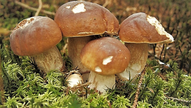 ciuperci